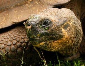 Galapagos giant tortoise, photo by Chris Earley