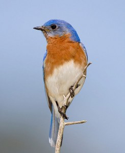Eastern Bluebird, photo by William H. Majoros (Wikimedia Commons)