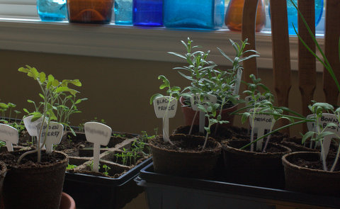 Herb and tomato seedlings