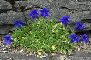Specimen in the alpine garden