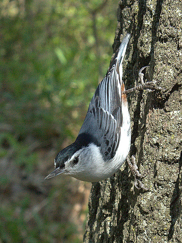 White-breasted nuthatch, photo by Van Waffle