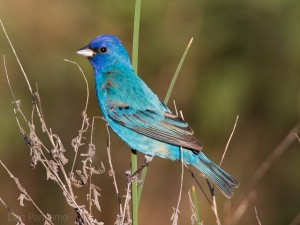 Indigo Bunting by Dan Pancamo on Flickr
