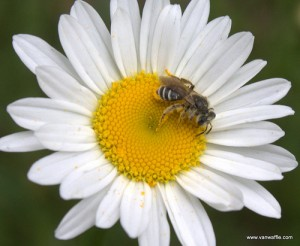Bee on daisy, photo by Van Waffle