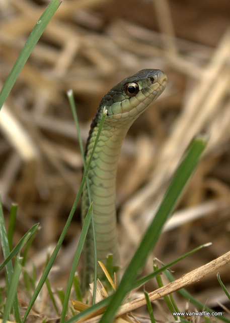 Garter snake in the vegetable garden, photo by Van Waffle