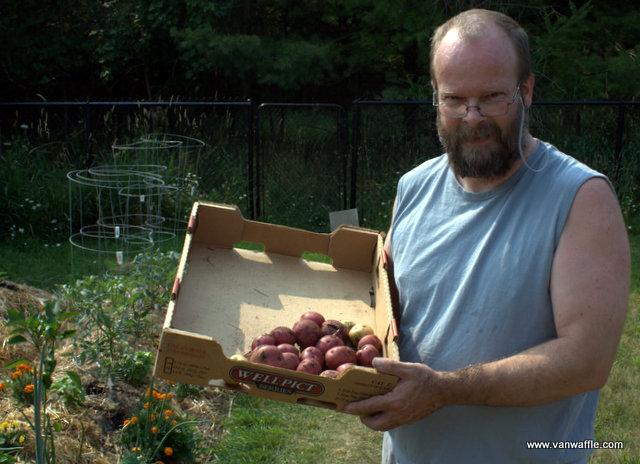 Van with Norland potato harvest