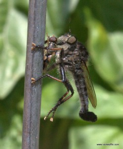 Promachus sp. robber fly