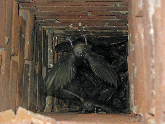 Chimney swifts by Greg Schechter