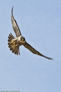 peregrine falcon by mike baird on flickr