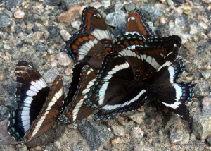 Limenitis arthemis on wildlife dung