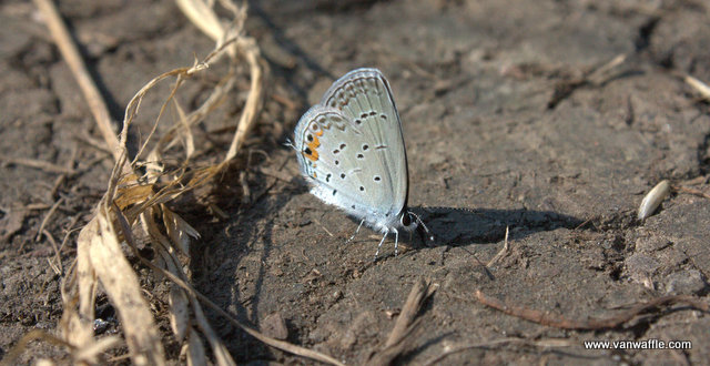 Everes comyntas, eastern tailed-blue butterfly