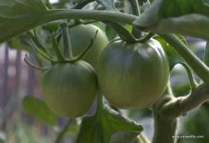 Blakc Prince tomato is neither black nor red