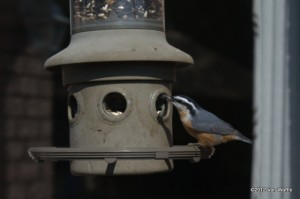 Nuthatch at the feeder