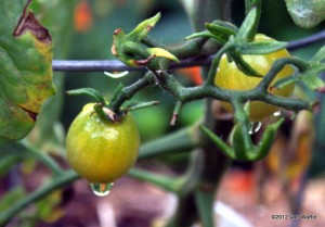 First Golden Cherry tomatoes ripening August 9