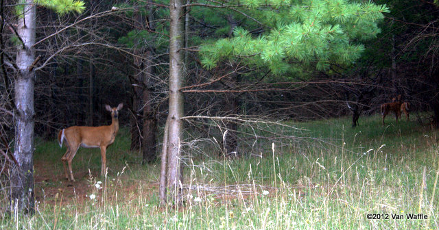 Queen of the forest, fawns in the distance