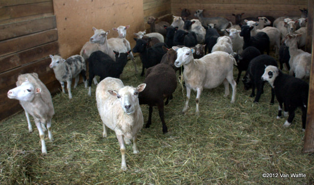 Shetland sheep after spring shearing, Chassagne