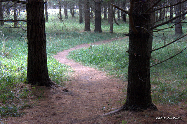 Path through the pine plantation