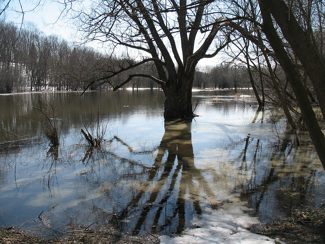 Old Man Willow and the flooded Eramosa River
