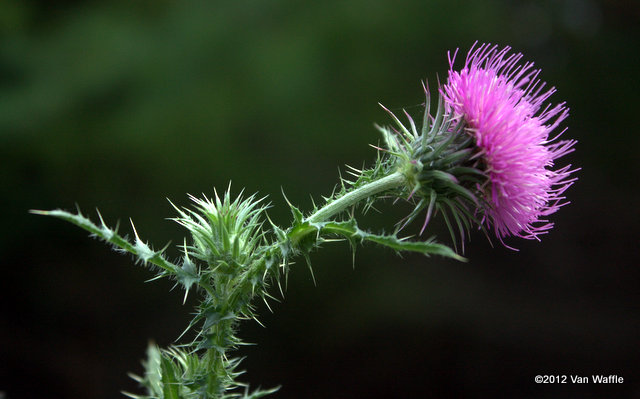 Thistle: do not touch!