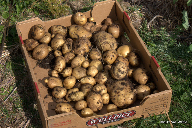 Bintje potato harvest