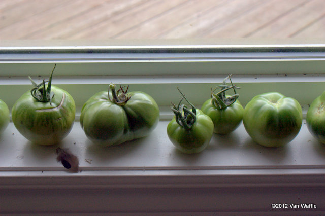 Tomatoes may ripen on the windowsill