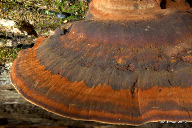 unidentified bracket fungus