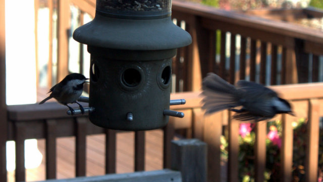 Two chickadees at the feeder