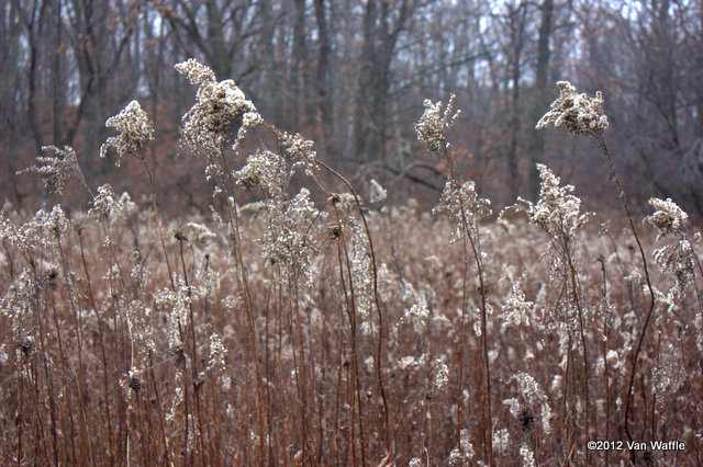 Goldenrod seed heads at Cootes Paradise