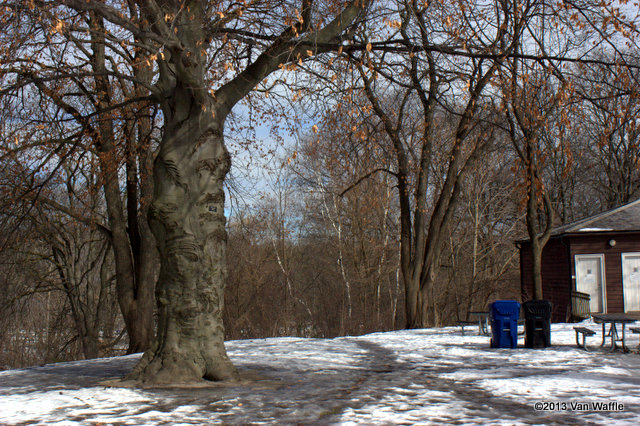 Copper beech at High Park