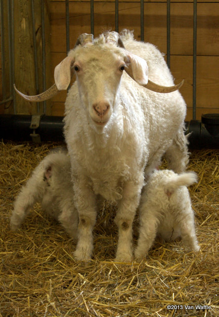 Mother Angora goat with twin kids