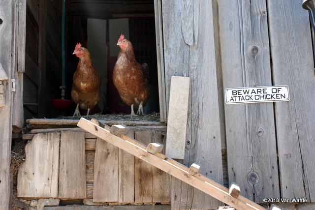 Beware of attack chicken