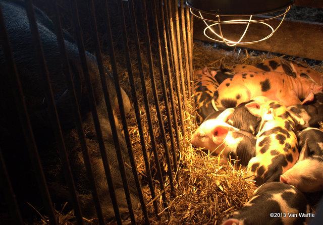Piglets at Reroot Farm