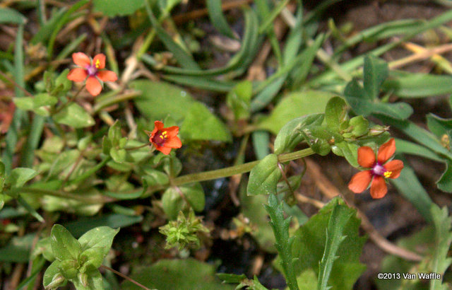 Scarlet pimpernel Anagallis arvensis