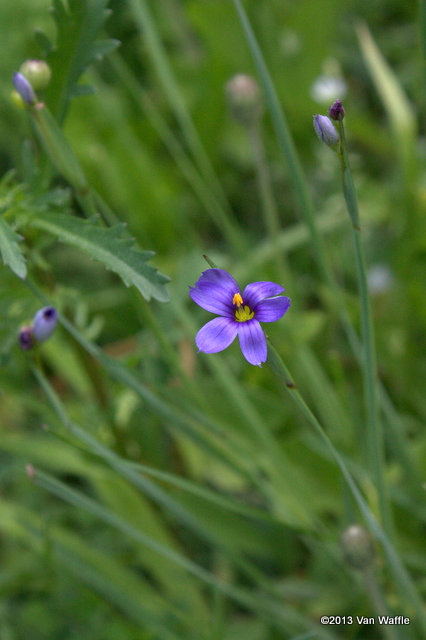 Blue-eyed grass Sysirinchium montanum