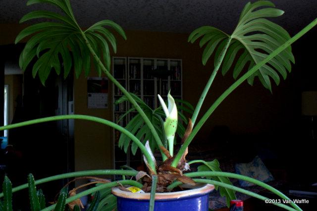 Philodendron pinnatifidum 2