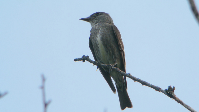 Olive-sided flycatcher by Wildreturn