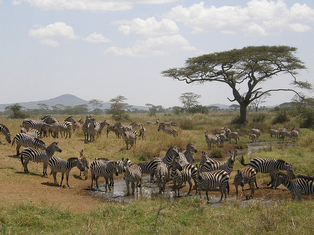 Zebras by Birger Kuhnel on Flickr