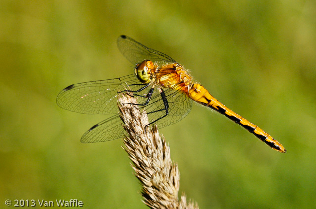 0001 Sympetrum dragonfly