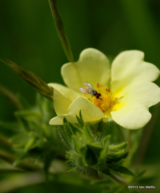 Cinquefoil with pollinator