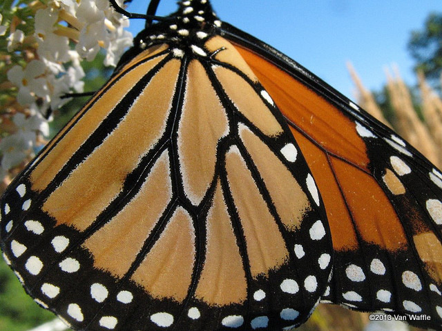 Monarch butterfly macro