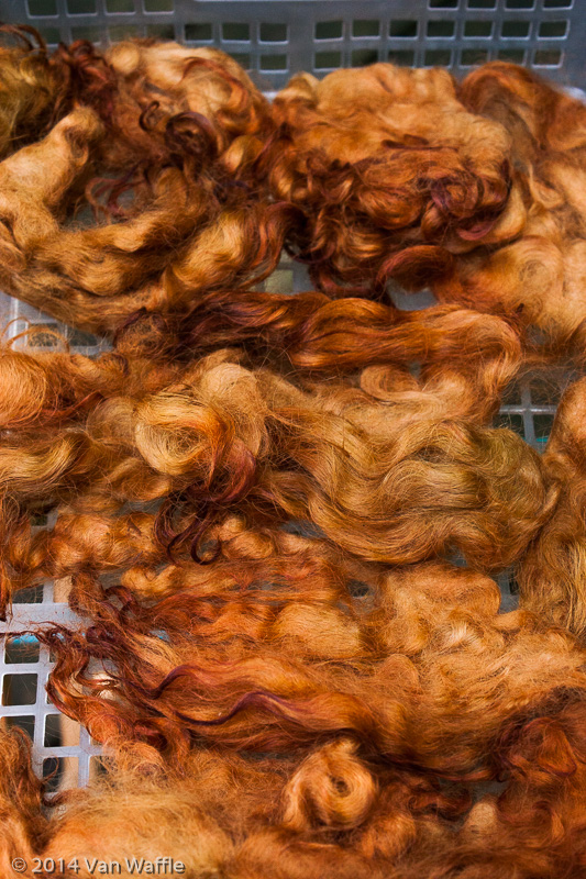 Border Leicester locks dyed with mountain-ash leaves