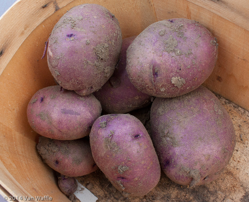 Caribe potatoes