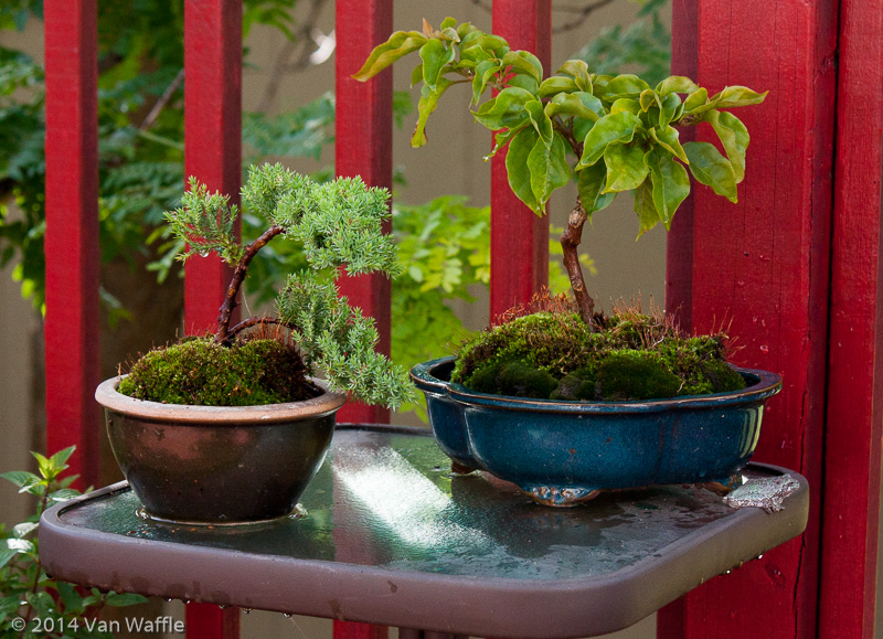 Bonsai pots with green treefrog