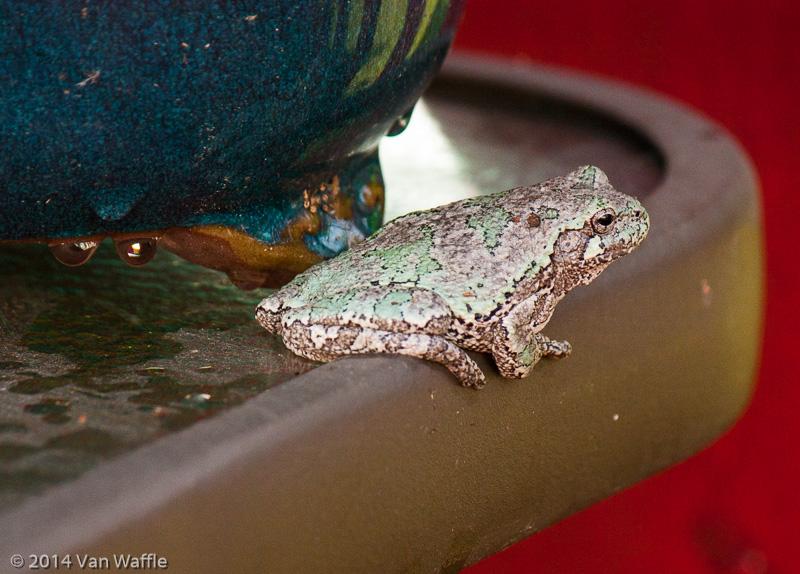 Gray Treefrog at home