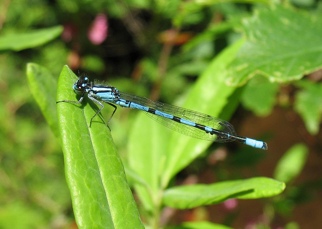 Bluet (damselfly)