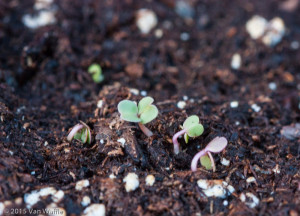 Arugula seedlings