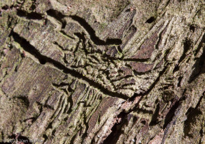 Bark beetle trails