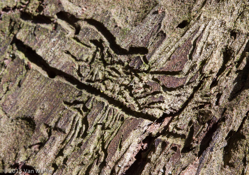 Bark beetle trails
