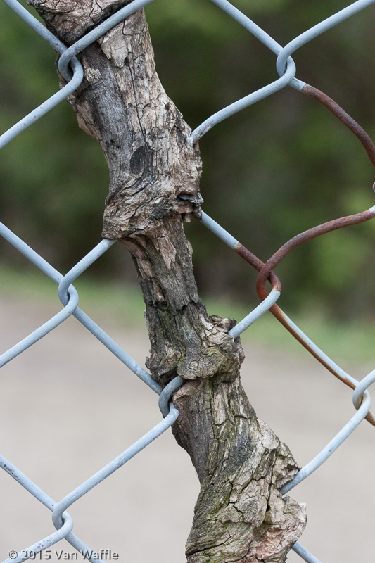 Branch grown into a fence
