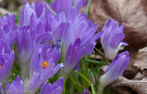 First crocuses