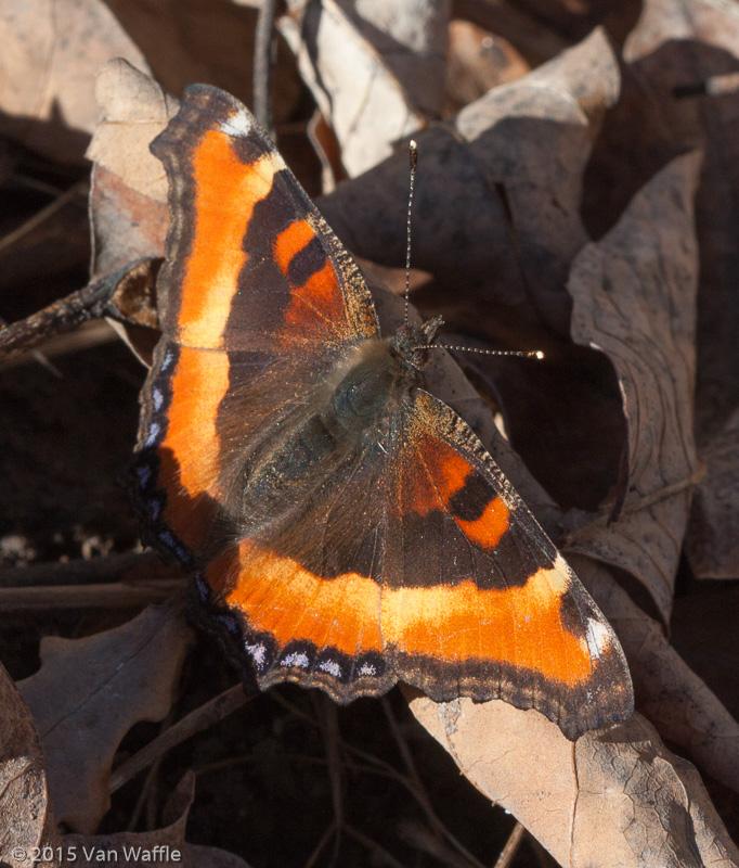 Milbert's tortoiseshell Nymphalis milberti